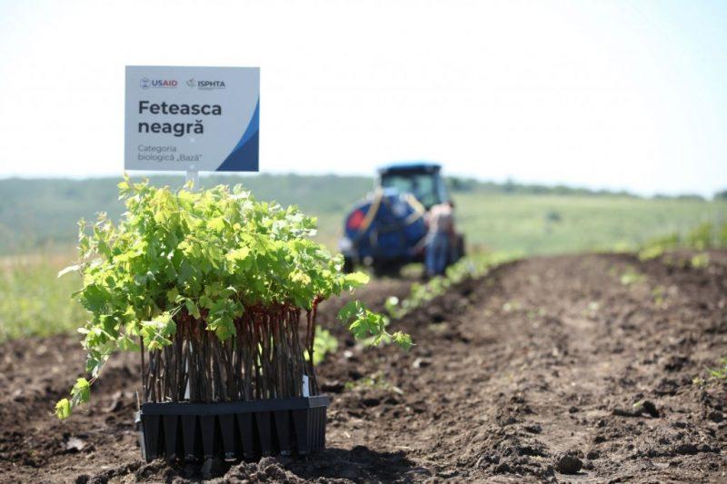 După 20 de ani, a fost relansată producerea în masă a materialului de înmulțire și săditor viticol