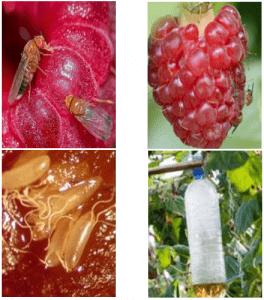 Drosophila suzukii