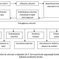 Schema etapelor de selectare a tulpinilor de S. thermophilus